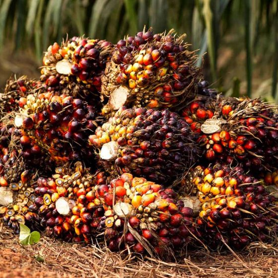 Palm Oil 560x560 - Palm Oil Controversies You Need To Know